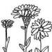 cropped-sias-zinnias